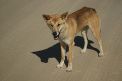 νησί dingo fraser Στοκ Φωτογραφίες