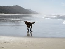 Dingo at Fraser Island, Queensland, Australia Stock Photos