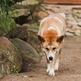 Dingo-Frontseite Stockbild