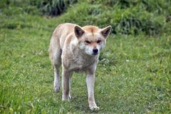 Dingo Royalty Free Stock Photography