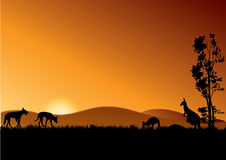 Dingo and kangaroos in sunset Stock Photography