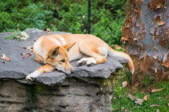 A dingo laying on a rock Royalty Free Stock Photo