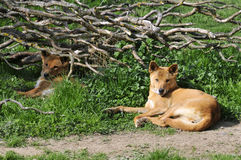 Dingo lying on grass Royalty Free Stock Photography