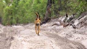 Dingo marchant le long de la voie vers l'appareil-photo banque de vidéos