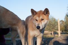 Dingo at the Moonlit Sanctuary. Australian wild dog the dingo in Moonlit Sanctuary Victoria, Australia stock photo