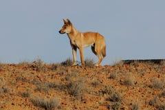 Dingo nell'entroterra australiana Fotografia Stock