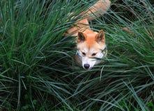 Dingo nell'erba Fotografia Stock Libera da Diritti