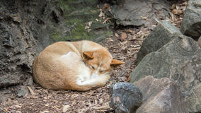 Dingo, parque dos animais selvagens de Featherdale, NSW, Austrália fotos de stock royalty free
