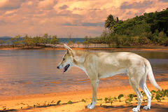 Dingo  at Port Douglas near Cairns Royalty Free Stock Photo