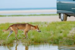 Dingo rond het strand Stock Afbeelding