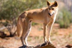 Dingo salvaje fotografía de archivo libre de regalías