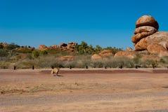 Dingo salvaje cerca de los mármoles de los diablos Imagen de archivo libre de regalías