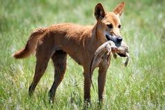 Dingo selvaggio con il drago barbuto nel deserto di Sturt Immagine Stock