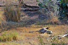 Dingo sleeping in countryside Stock Photo