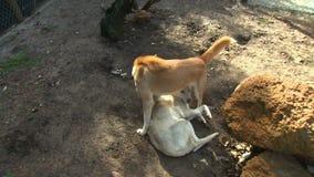 Dingo Stoi Nad Kłaść dingo zbiory wideo