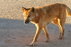 Dingo at sunset Stock Images