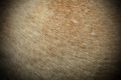 Dingo textured fur Stock Images