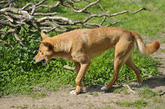 Dingo walking the mouth open Royalty Free Stock Image