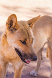 Dingo in the wild, Australia, close up Royalty Free Stock Photography