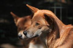 Dingo wild dog (Canis lupus dingo). Royalty Free Stock Images