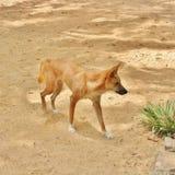 Dingo Royalty Free Stock Image