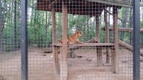 Dingo in zoo. In Nyíregyháza, Hungary Royalty Free Stock Photography