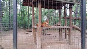 Dingo in zoo. In Nyíregyháza, Hungary Stock Photography