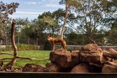 dingoes Zdjęcie Stock