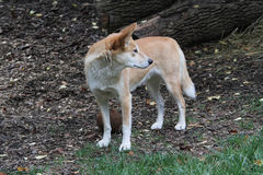 dingoes Obrazy Stock