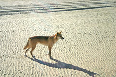 Dingoes on Frase Island, Australia Royalty Free Stock Photos