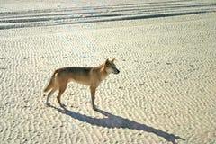 Dingoes sull'isola di Frase, Australia Fotografie Stock Libere da Diritti