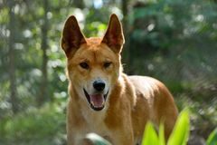 Dingohond Lupus Dingo royalty-vrije stock foto