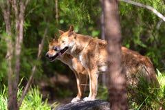 Dingos in der Gefangenschaft, Australien lizenzfreies stockbild