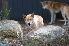 Dingos in der Gefangenschaft in einem wilden Leben parken in Australien lizenzfreie stockbilder
