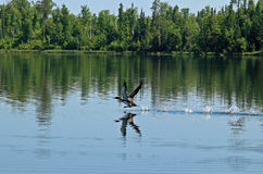 Dingue commun ou grand plongeur du nord Image libre de droits