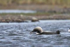 Dingue Pacifique ou pêche Pacifique de plongeur dans les eaux arctiques avec un poisson dans sa bouche, près d'Arviat Nunavut image stock