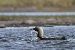 Dingue Pacifique ou p?che Pacifique de plongeur dans les eaux arctiques avec un poisson dans sa bouche, pr?s d'Arviat Nunavut photos libres de droits