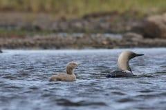 Dingue Pacifique ou plongeur Pacifique avec un jeune poussin dans les eaux arctiques photos stock