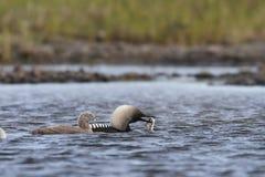 Dingue Pacifique ou plongeur Pacifique pêchant avec un jeune poussin dans les eaux arctiques photos libres de droits
