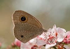 Dingy Ring butterfly on Australian leptospernum pink flower Royalty Free Stock Photos