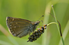 Dingy Skipper Butterfly - Erynnis tages.  Royalty Free Stock Photography