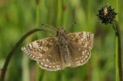 Dingy Skipper Butterfly. Erynnis tages Royalty Free Stock Photos