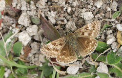 A  Dingy Skipper Butterfly Erynnis tages perched on vegetation on the ground. A beautiful Dingy Skipper Butterfly Erynnis tages perched on vegetation on the Royalty Free Stock Image