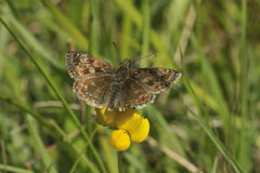 Dingy Skipper Butterfly. Erynnis tages Stock Photos