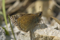 Dingy Skipper Butterfly Stock Image