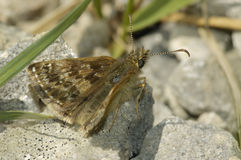 Dingy Skipper - Erynnis tages Stock Photography