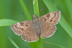 Dingy skipper Erynnis tages. A butterfly of the Hesperiidae family Royalty Free Stock Images