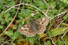 A Dingy Skipper Erynnis tages perched on a plant. A pretty Dingy Skipper Erynnis tages perched on a plant Stock Photos
