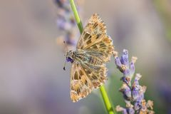 Dingy skipper Erynnis tages on purple lavender. Dingy skipper Erynnis tages butterfly pollinating in purple blooming lavender flowers stock photography