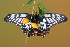 Dingy swallowtail butterfly. Dingy swallowtail (Papilio anactus)butterfly with wings open wings rests on a twig Royalty Free Stock Image